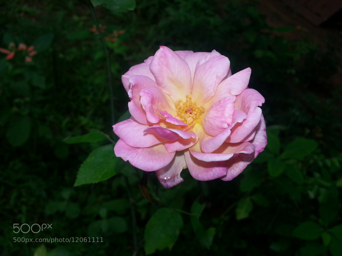 Photograph Rosy by Sujeeth Kumar on 500px