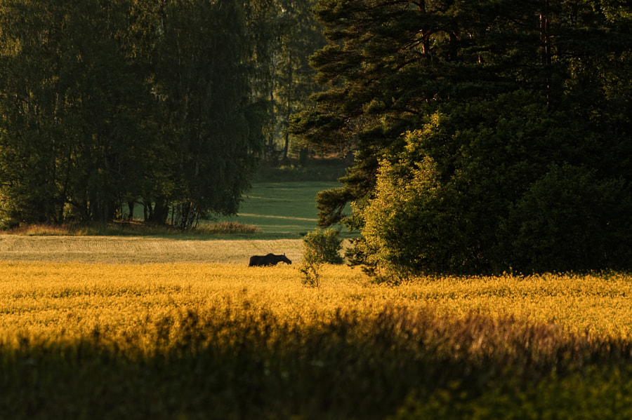 Photograph Field of Gold by Jere Ketola on 500px