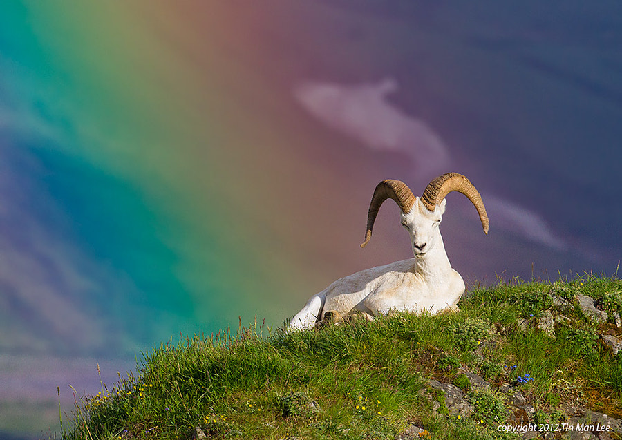 Photograph Dall Sheep in Rainbow 2 by Tin Man on 500px