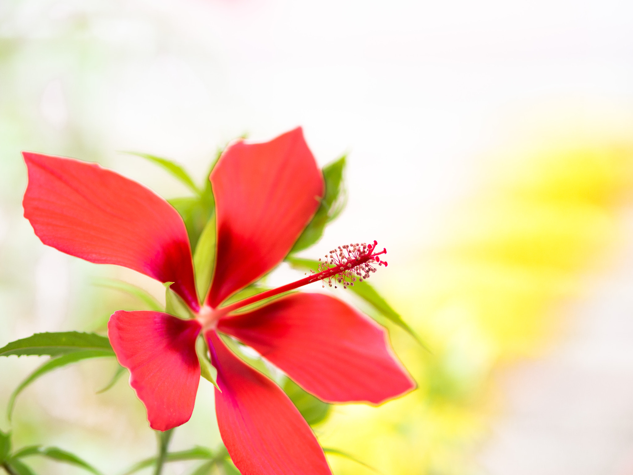 Photograph scarlet rosemallow by Kaz Watanabe on 500px
