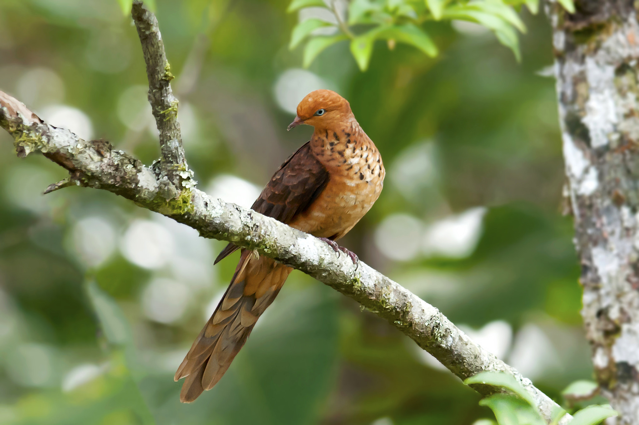 Photograph Little Cuckoo Dove by Allan Seah on 500px