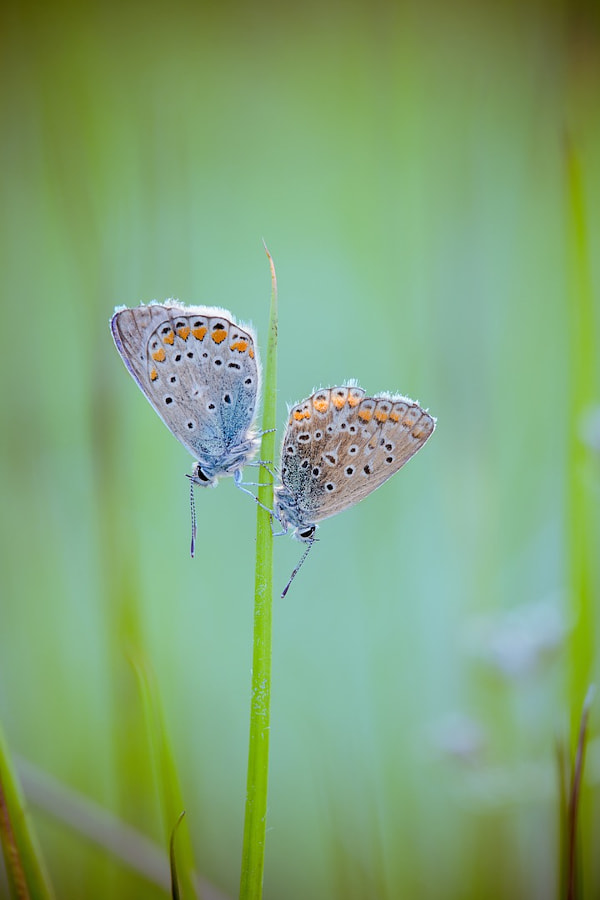 Duo d'argus by David Chambon on 500px