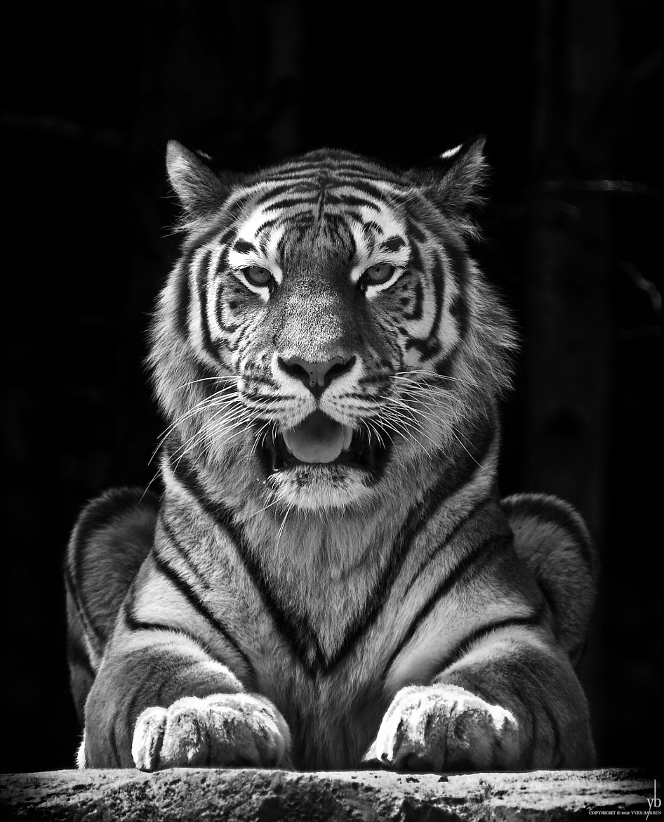 Photograph portrait of a tiger by y b on 500px