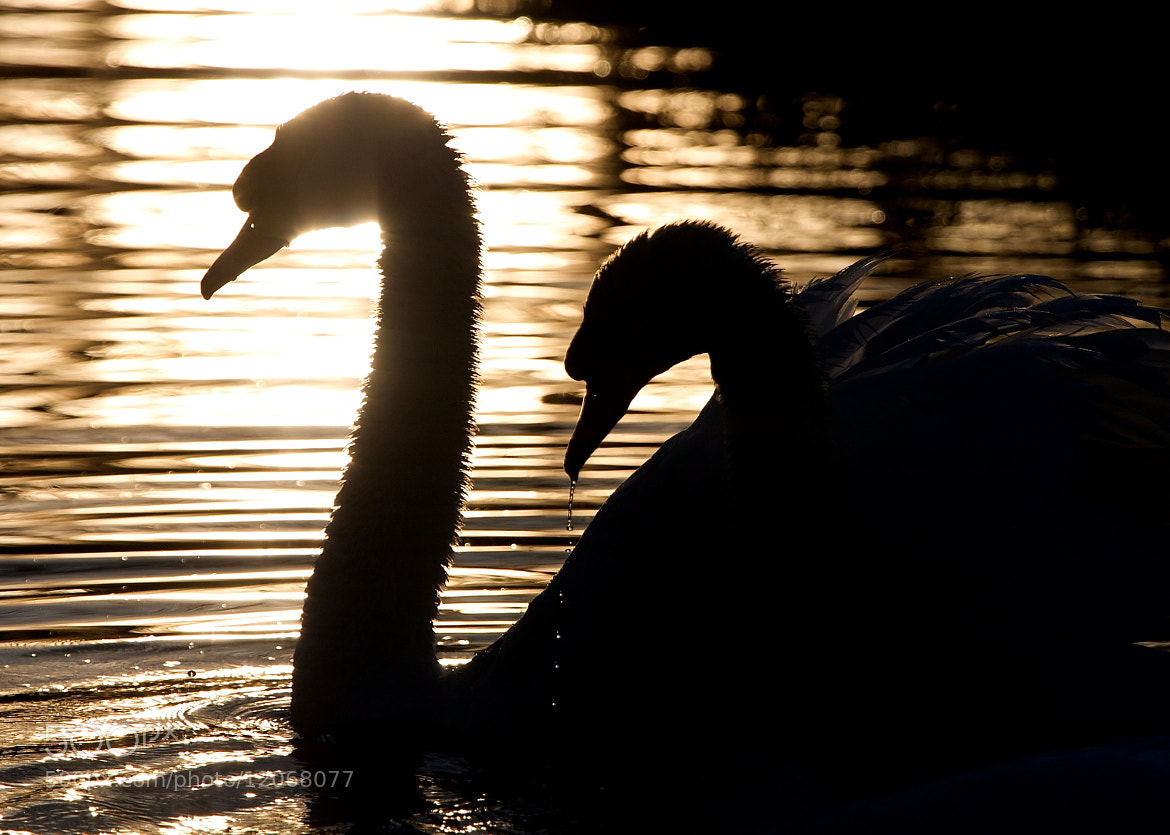 Photograph Morning Swans by Stuart Graham on 500px