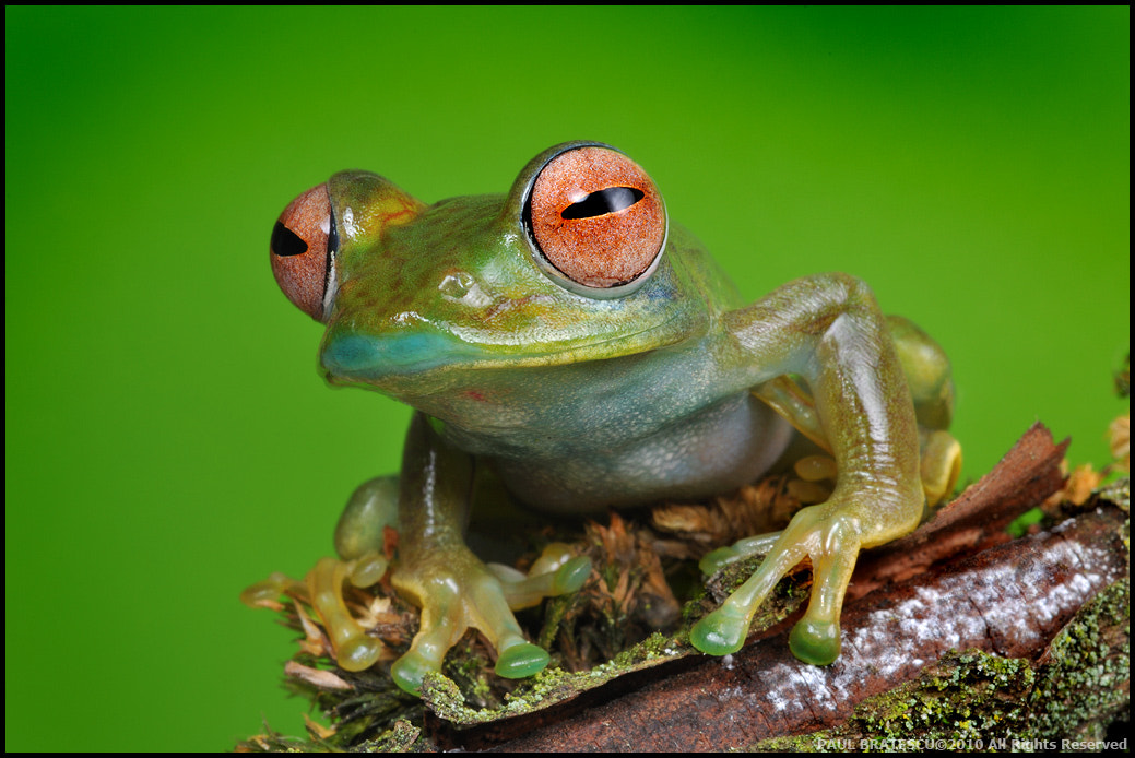 Photograph Gorgeous Froggy by Paul Bratescu on 500px