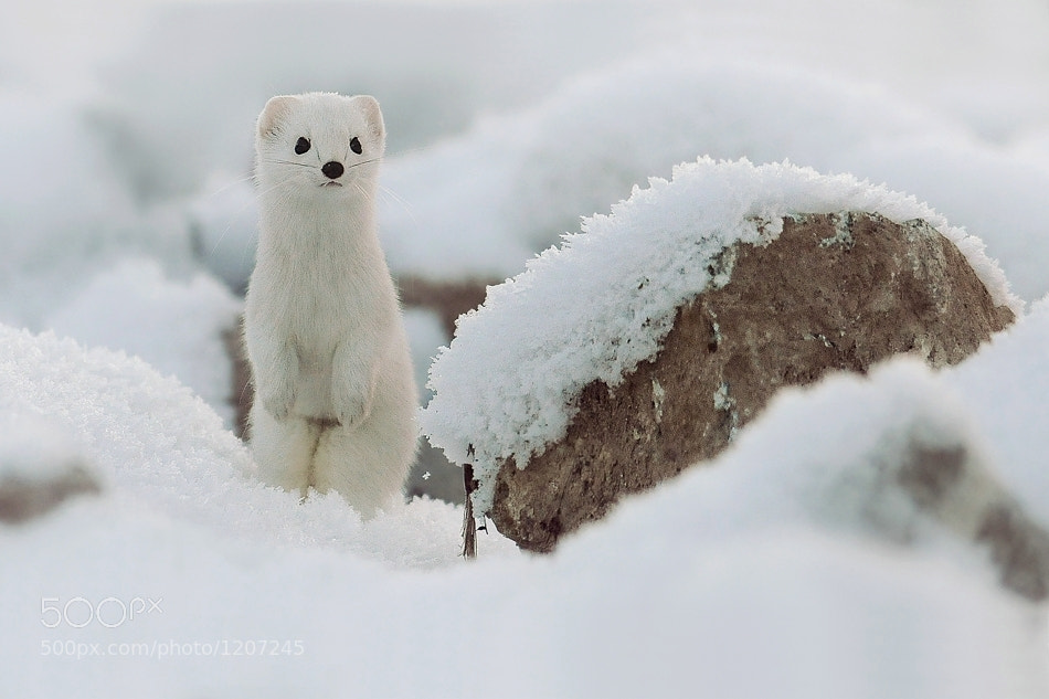 Photograph Mustela Erminea by Milan Krasula on 500px