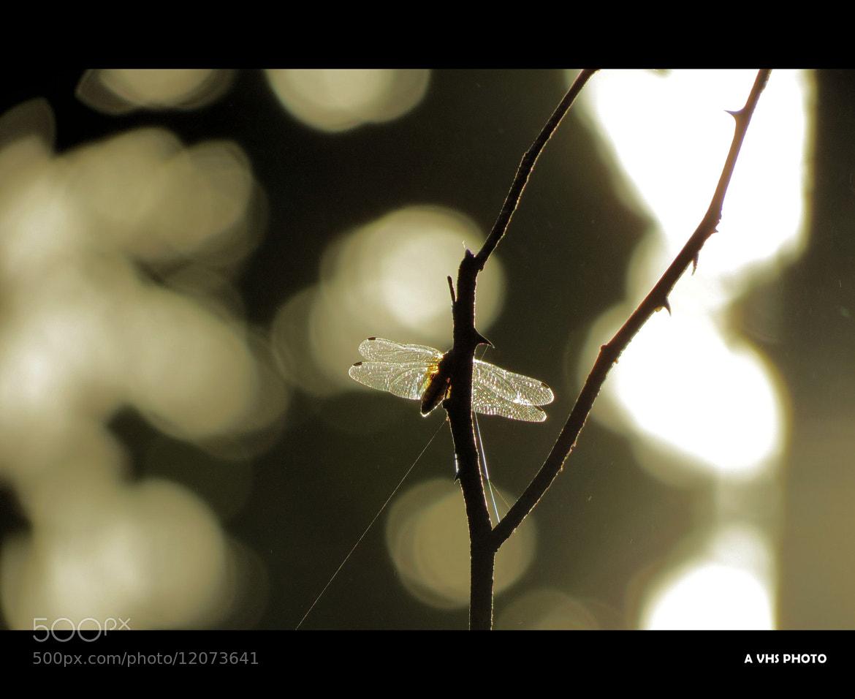 Photograph Dragon Fly by Venkitesh Harihara Sarma on 500px