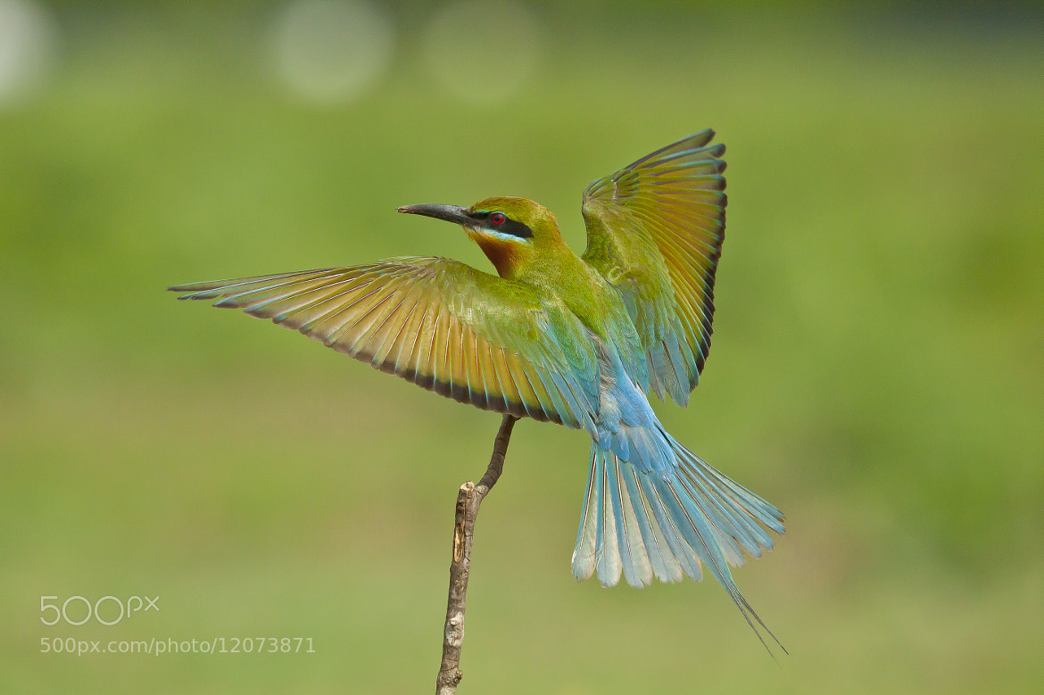 Blue-tailed Bee-eater (Merops philippinus) by Nirmalya Roy | 500px