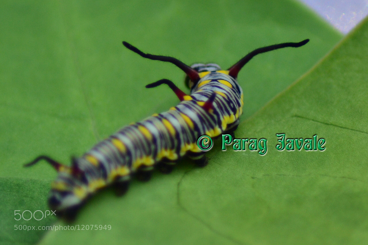 Photograph On the way to become Butterfly ... by Parag Javale on 500px