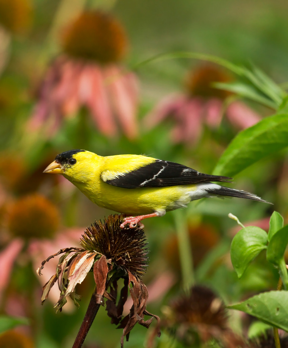 Photograph American Goldfinch by Lorraine Hudgins on 500px