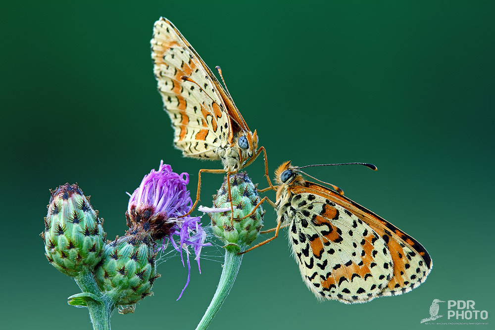 Photograph The Spotted Fritillary: Face to Face by PdR Photo on 500px