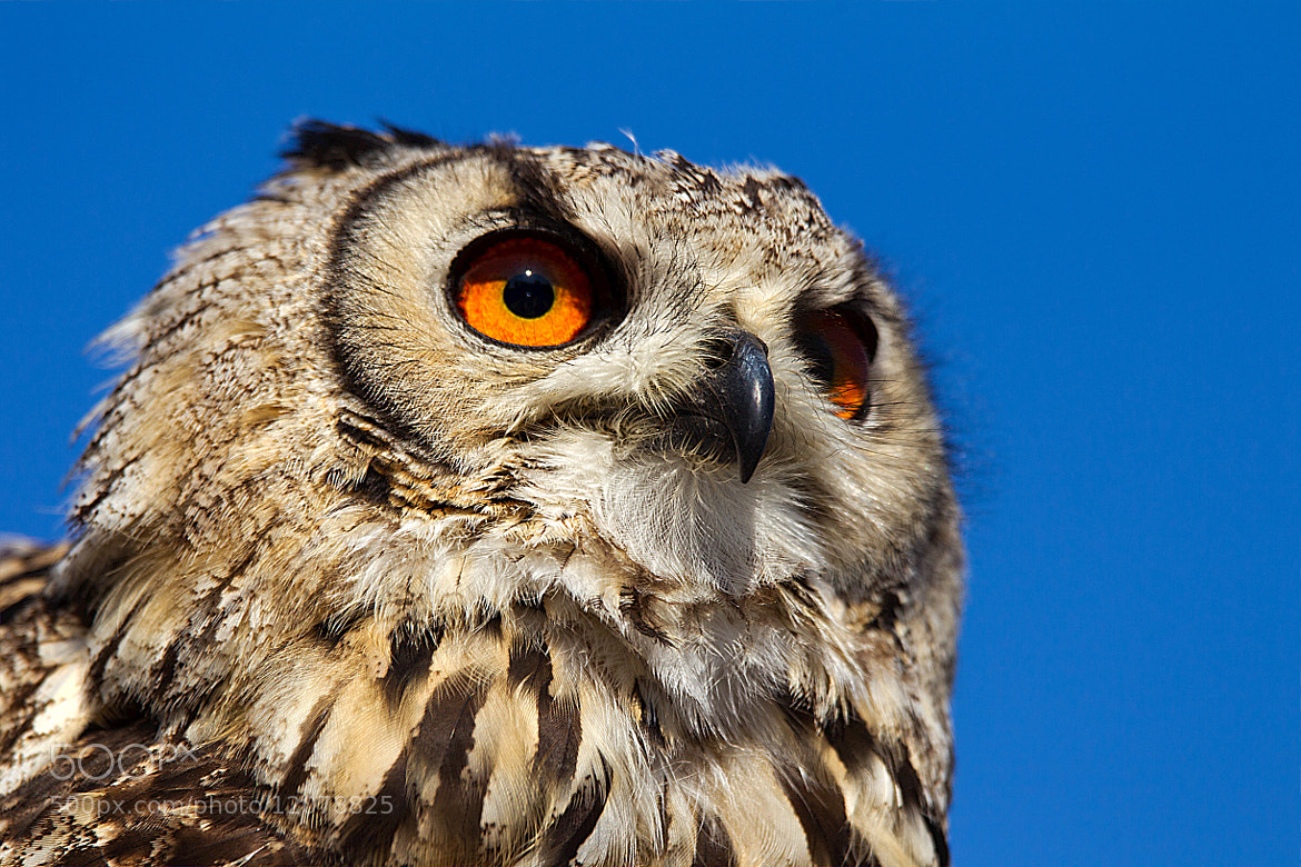 Photograph owl by Miquel Vernet on 500px