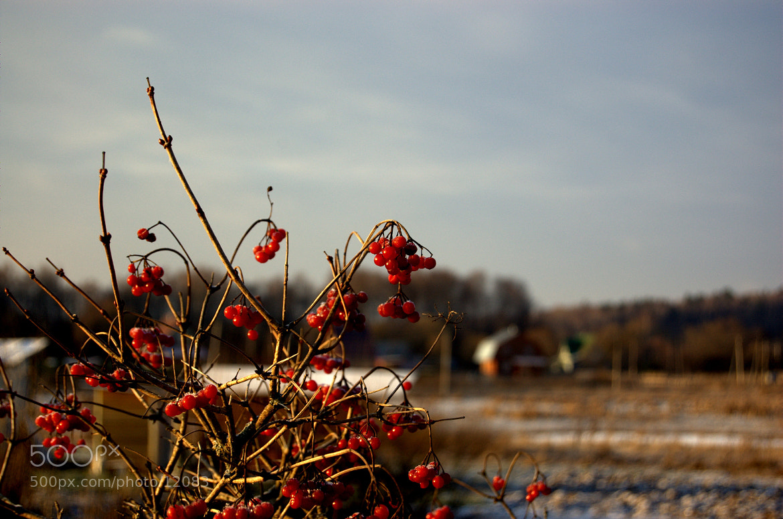 Photograph Ягода калина by Slava Bochkov on 500px