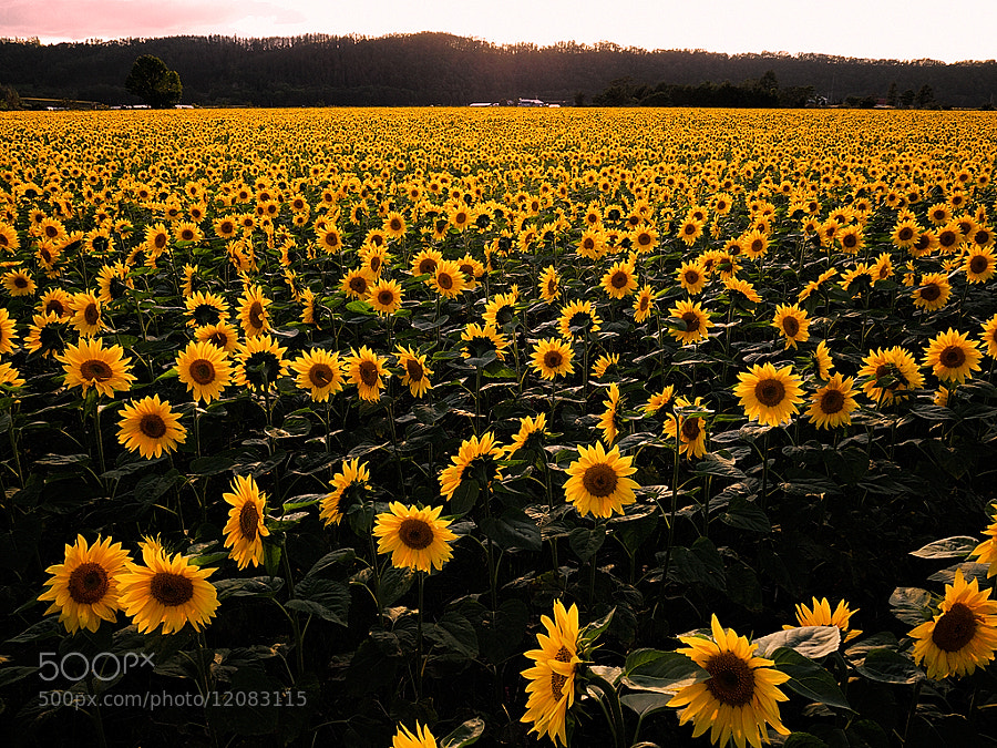 Photograph The sunflower field of sunset  by Kent Shiraishi on 500px