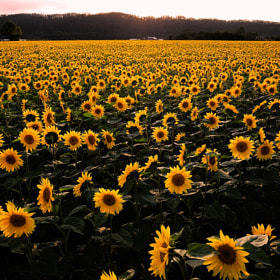 The sunflower field of sunset  by Kent Shiraishi (KentShiraishi)) on 500px.com
