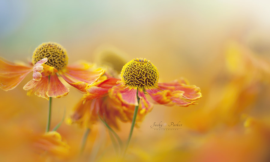 Simply Heleniums by Jacky Parker on 500px.com