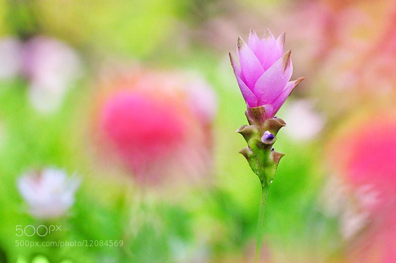 Photograph Siam Tulip by Dark DarkMoon on 500px