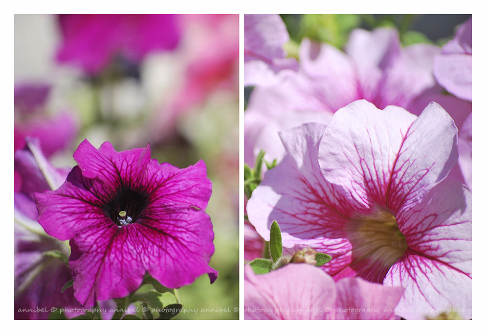 Photograph Petunias... by annibel  photography on 500px