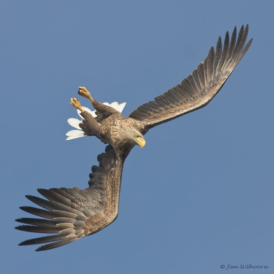Photograph White-tailed Eagle by Jan Uilhoorn on 500px