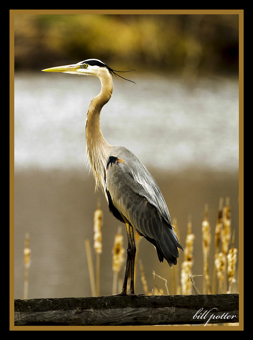 Photograph Great Blue Heron by William Potter on 500px