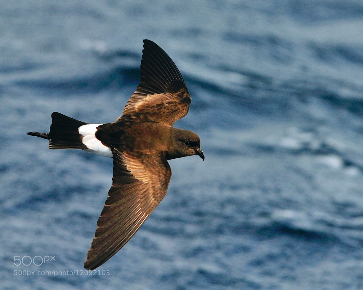 Photograph Wilson's Storm-Petrel by Tony Beck on 500px