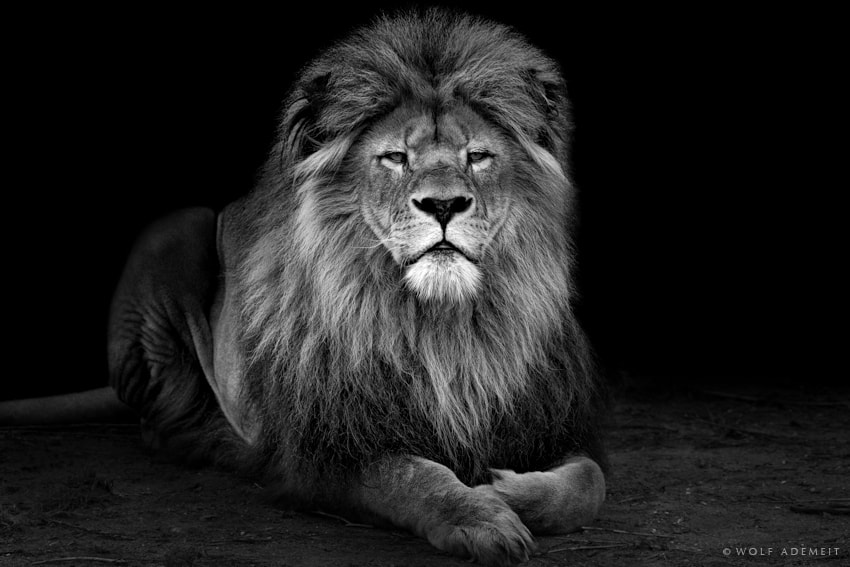 Photograph OLD LION by Wolf Ademeit on 500px