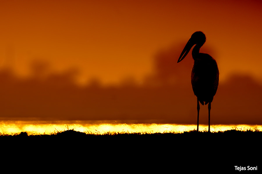 Photograph asian open billed stork by Tejas Soni on 500px