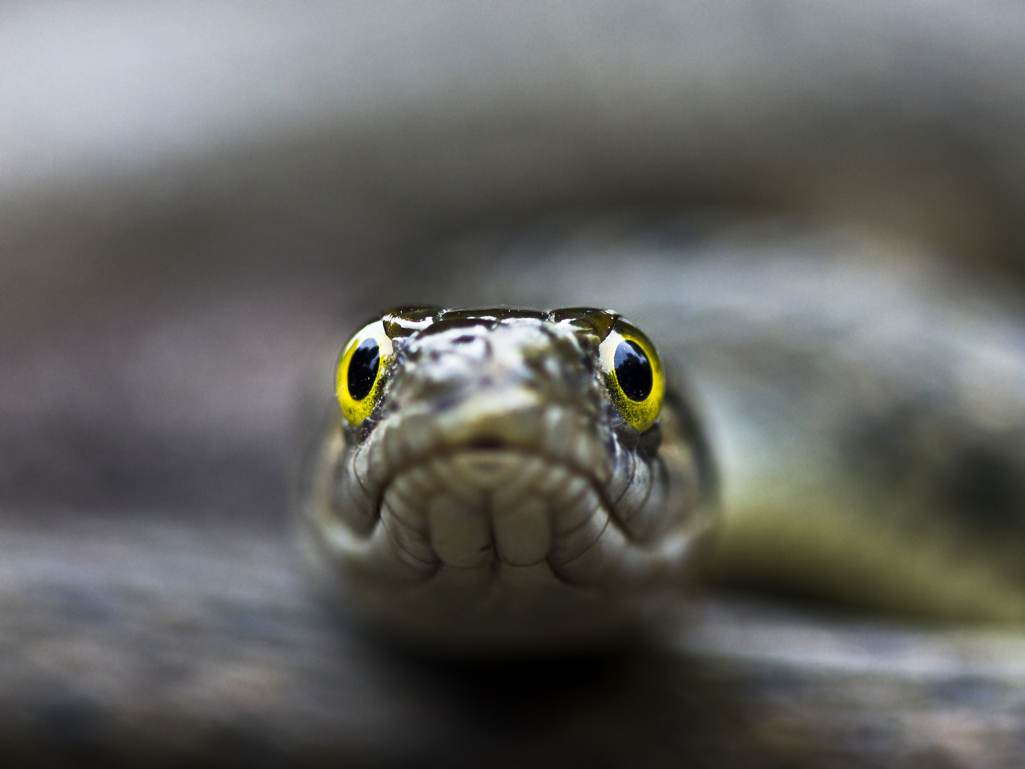 Photograph Checkered Keelback by Abhishek Chatterjee on 500px