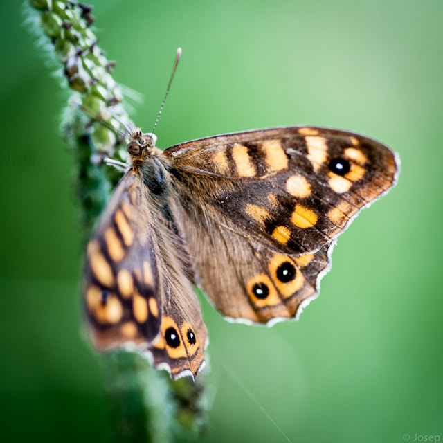 Photograph The butterfly (2) by Josep Girona on 500px