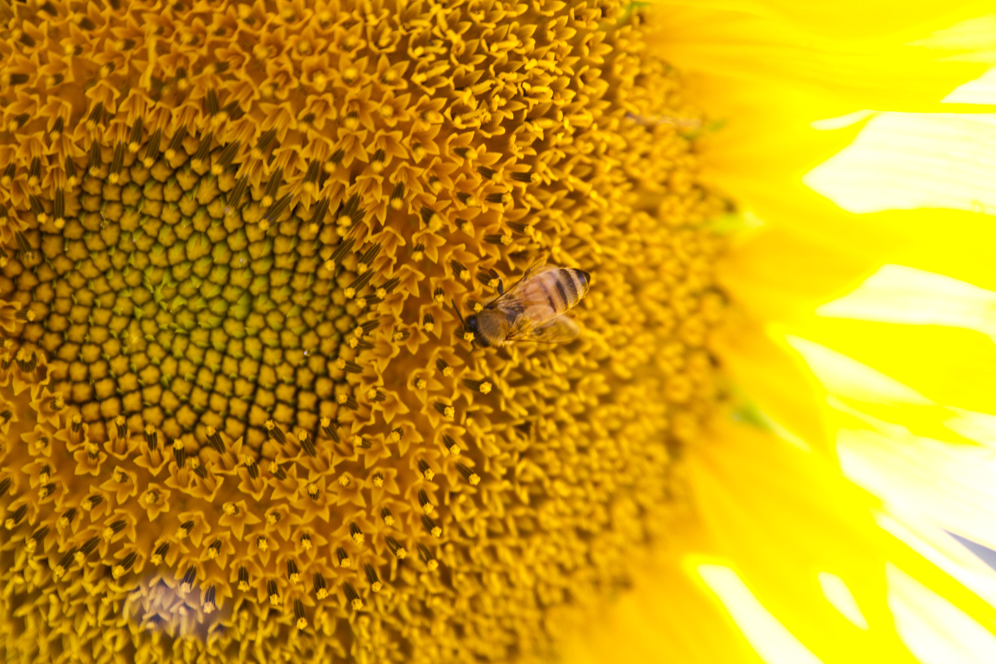 Photograph Sunflower and Visitor by Ashe  on 500px