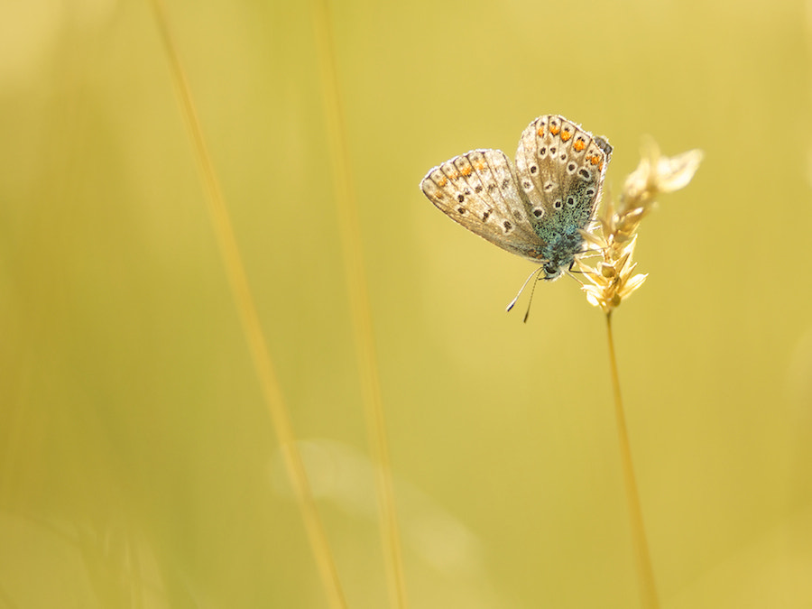 Photograph Common Blue with backlight by Erik Veldkamp on 500px