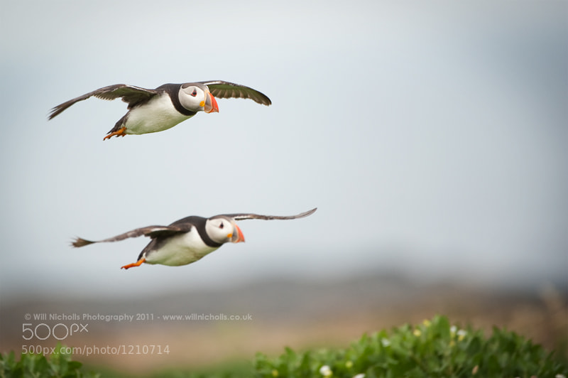 Photograph Puffins in Parallel by Will Nicholls on 500px