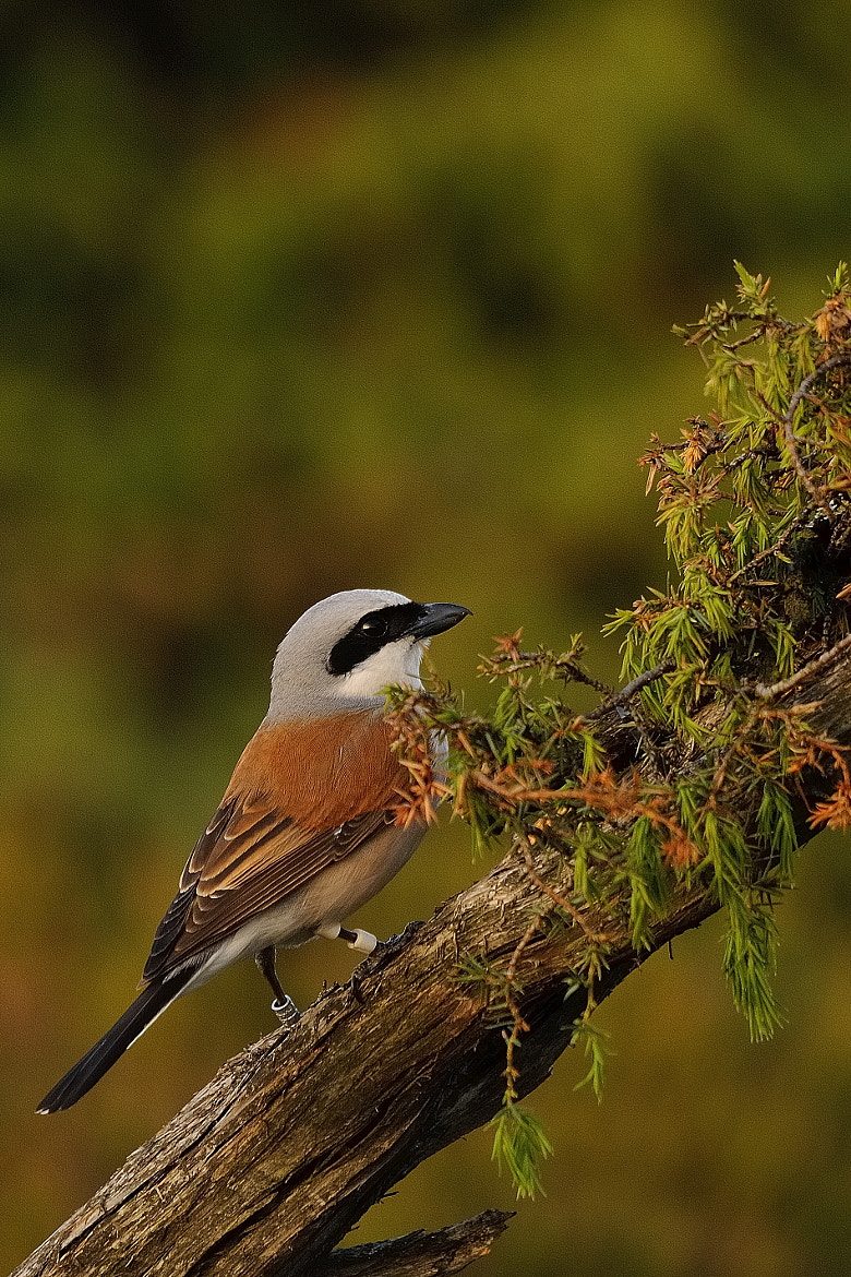 Photograph Red-backed Shrike by B Timmer on 500px