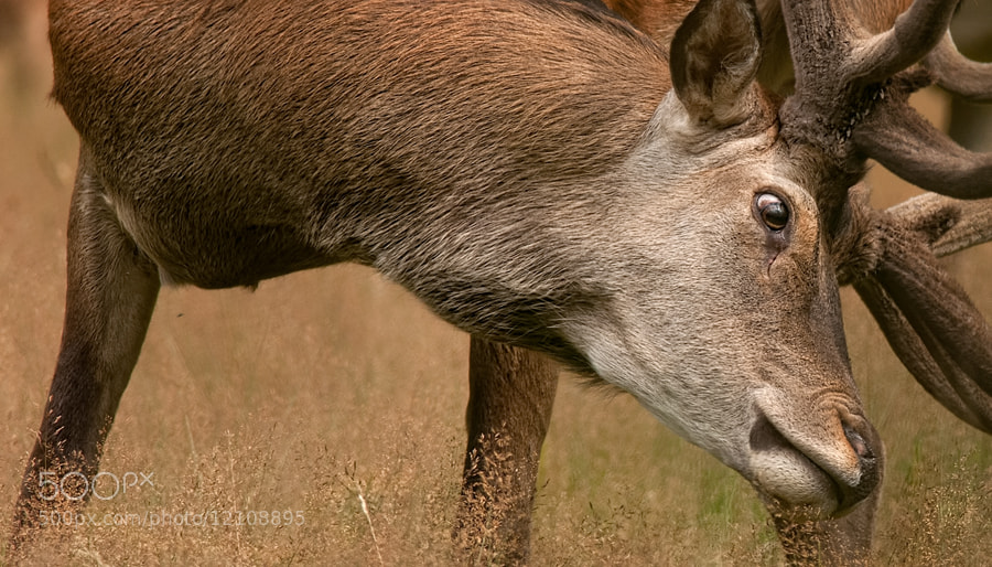 Photograph Red Deer by Jeannette  Oerlemans on 500px