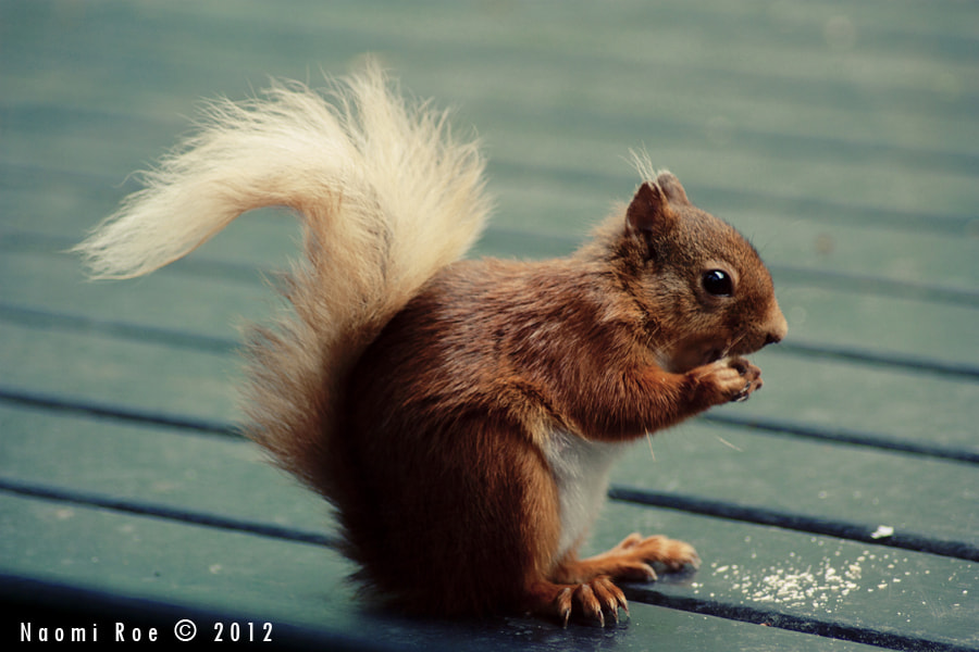 Photograph Red Squirrel by Naomi Roe on 500px