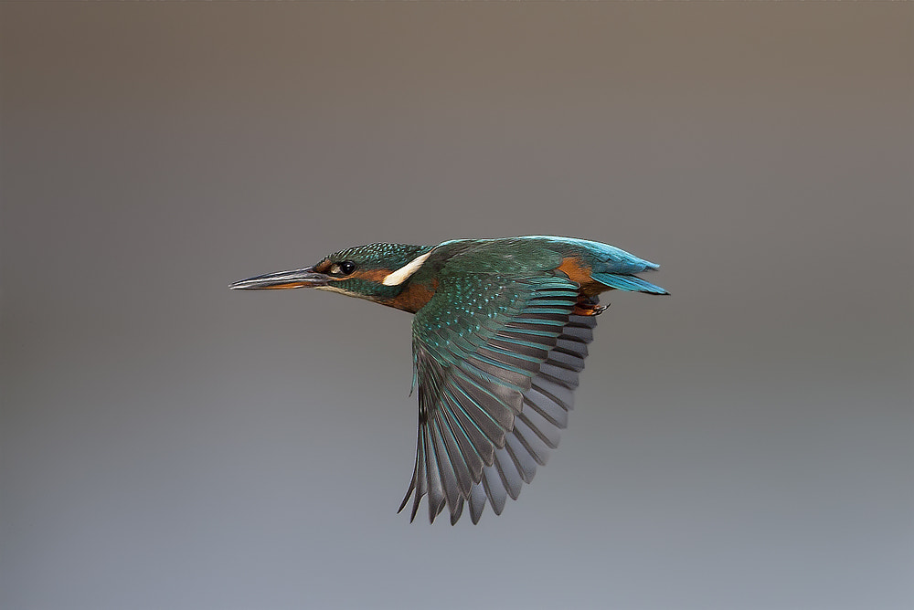 Photograph The Flight of the Kingfisher by Dale Sutton on 500px