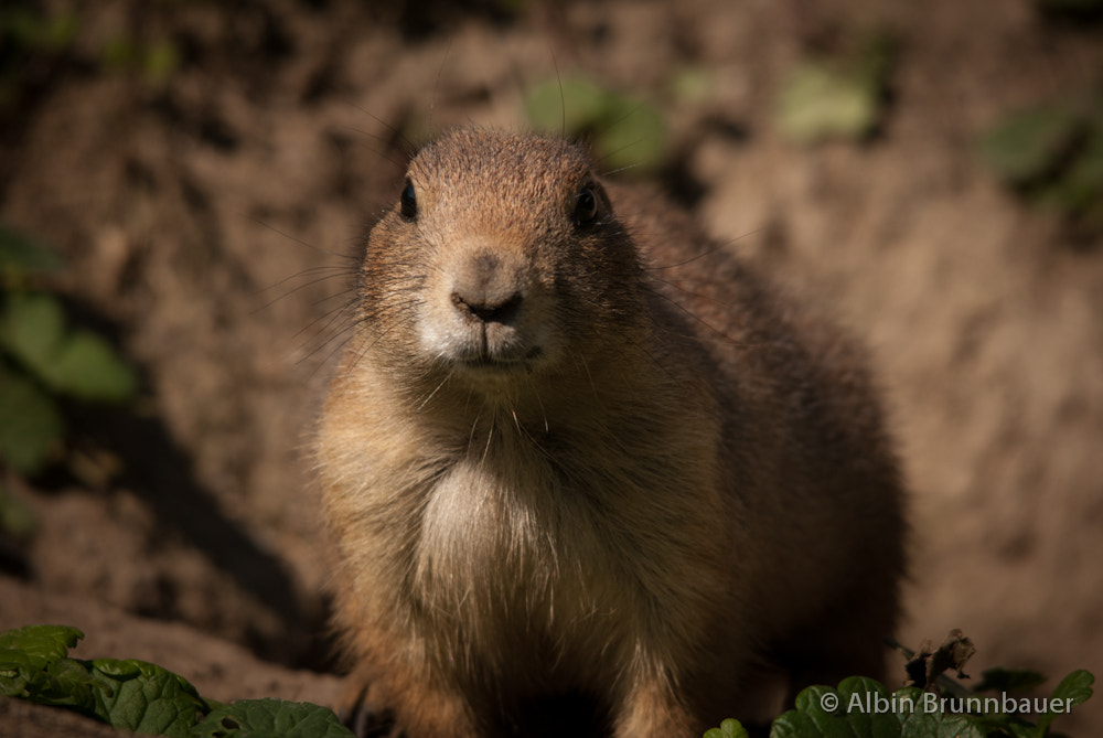 Photograph Prairie dog by Albin Brunnbauer on 500px