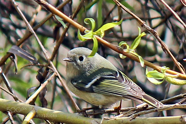 Photograph Ruby-crowned kinglet female by Kelly Lenihan on 500px