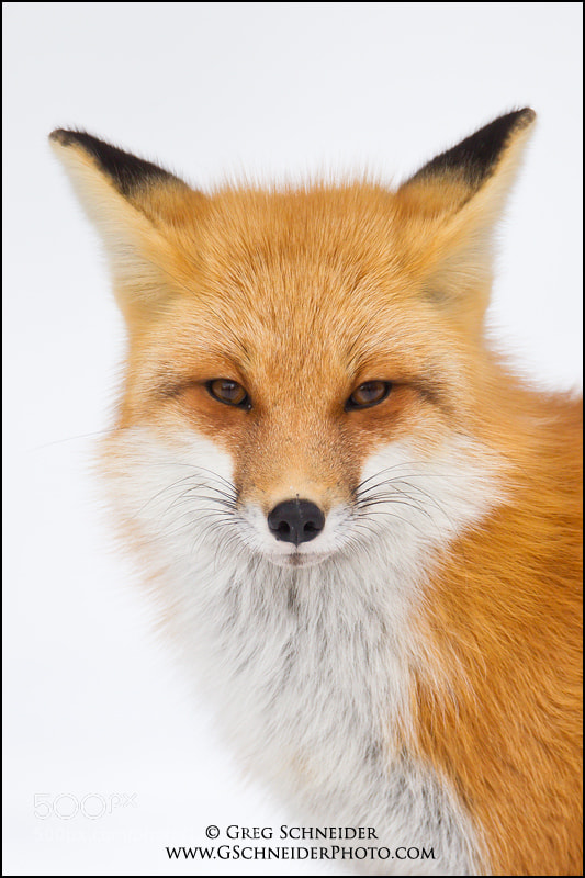 Photograph Red Fox portrait (National Geographic Magazine March 2011 cover) by Greg Schneider on 500px