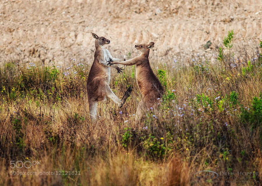 Photograph Kangaroo Boxing by Drew Hopper on 500px