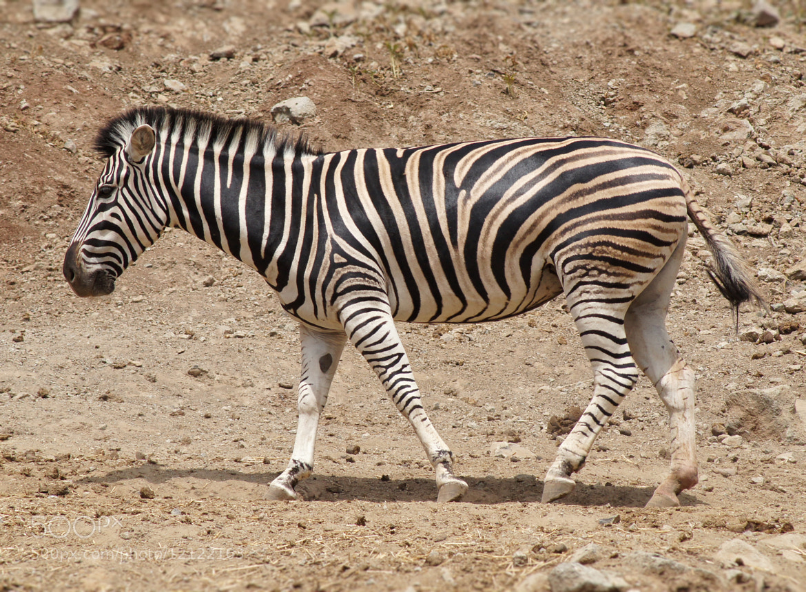 Photograph Zebra by ---ROB---  PHOTOGRAPHY on 500px