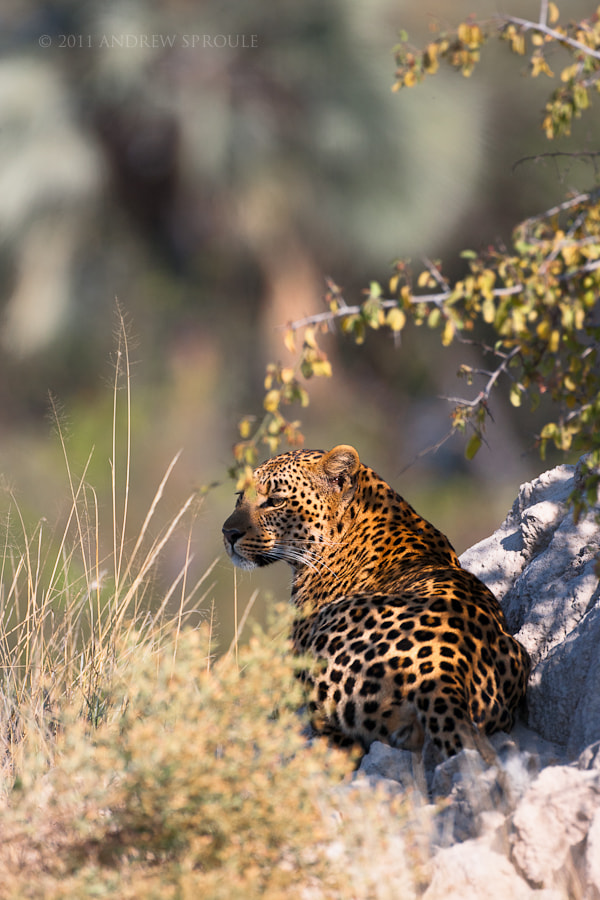 Photograph Female Leopard by Andrew Sproule on 500px