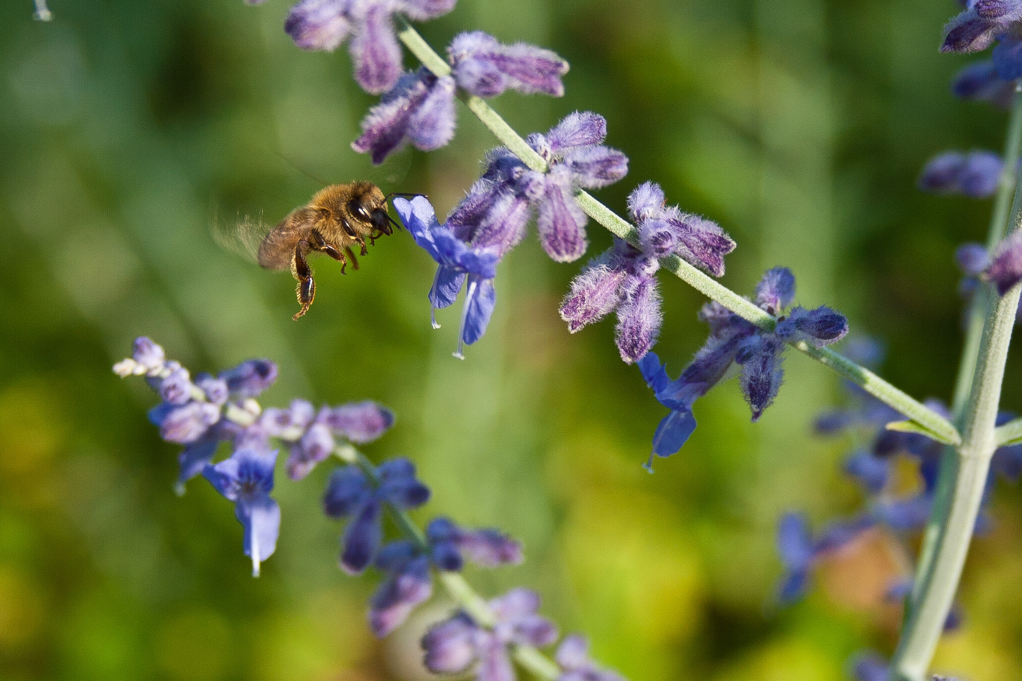 Photograph Flight of the Bumblebee by Amy Nicklas on 500px