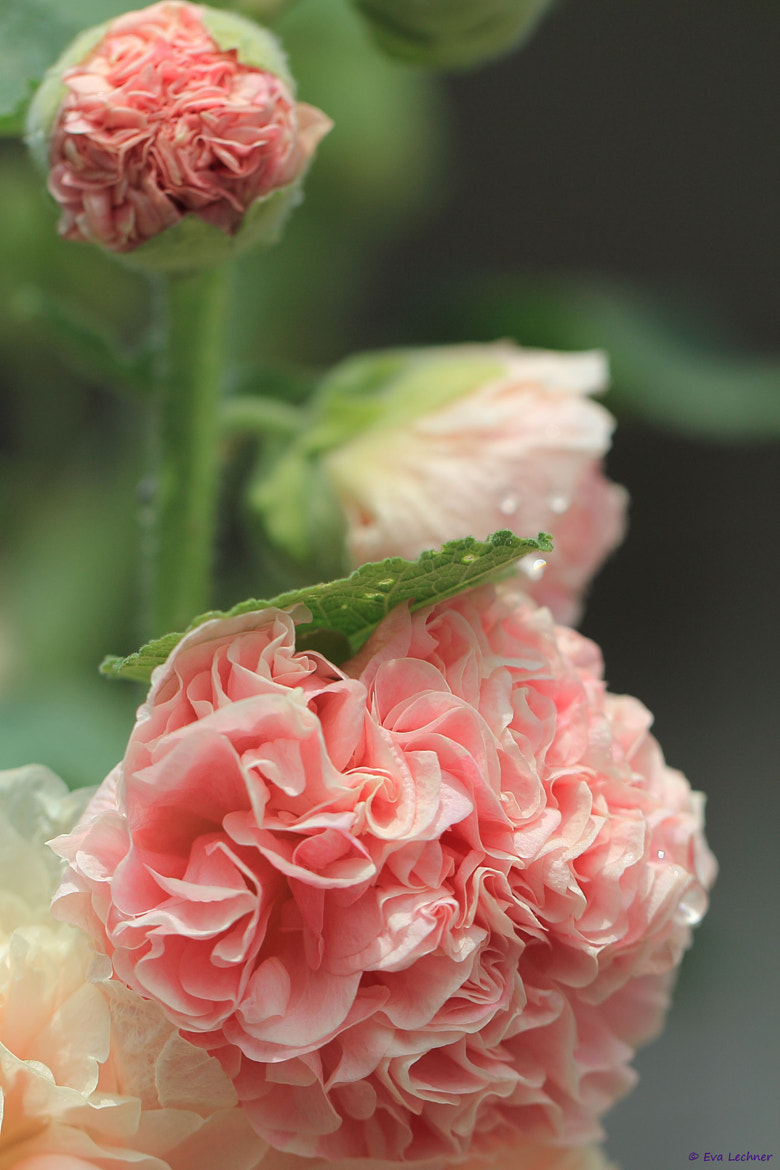 Photograph Alcea rosea by Eva Lechner on 500px