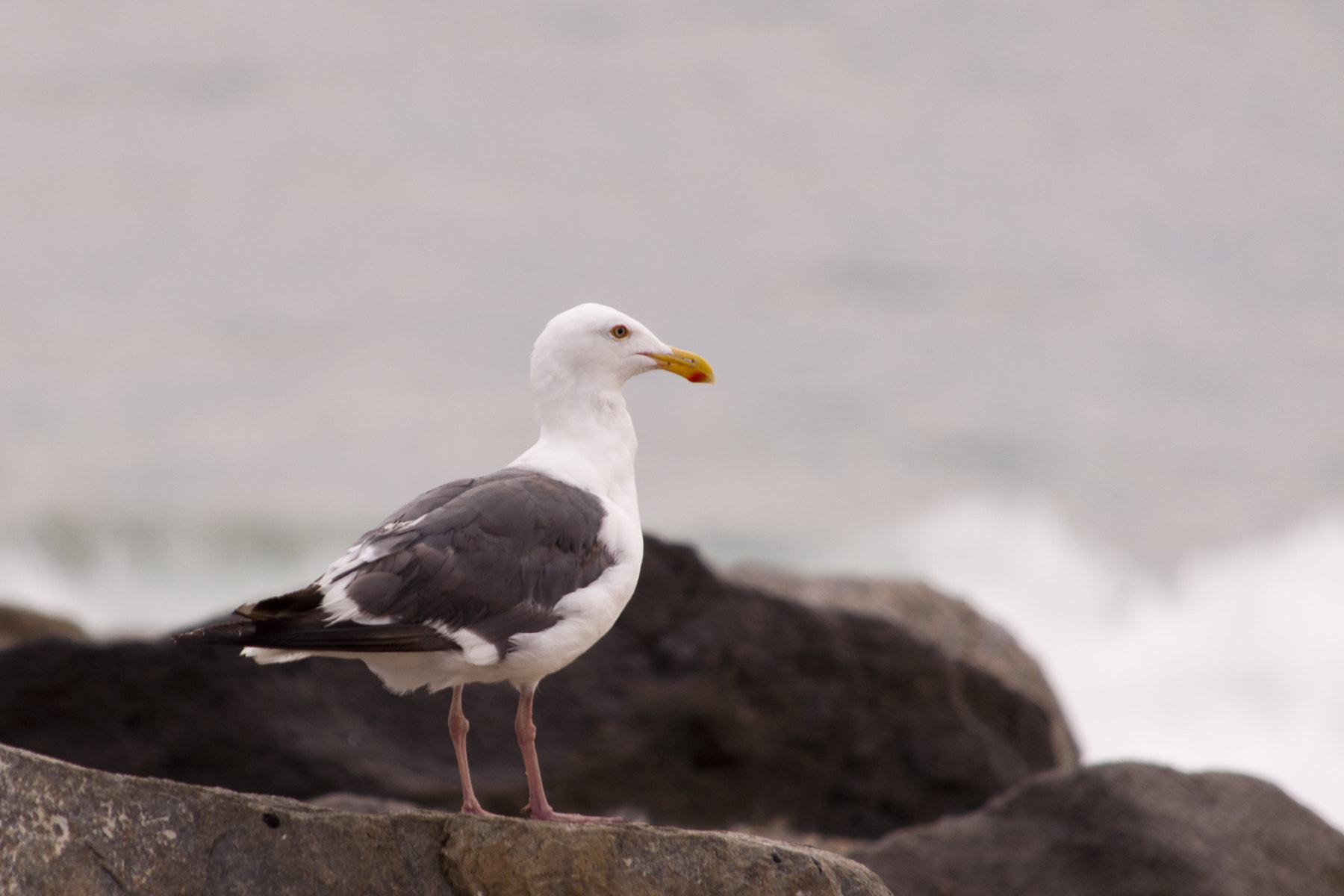 Photograph Seagull by Chris Hogan on 500px