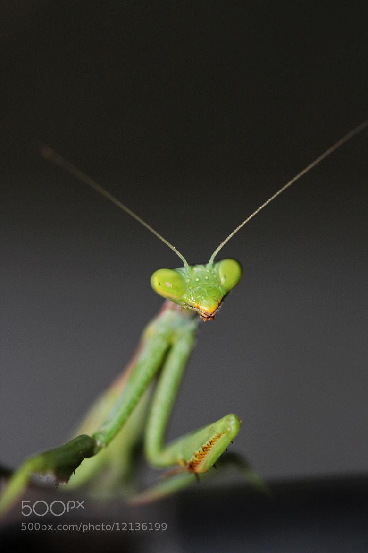 Photograph Mini Mantis by Dario Bassi on 500px
