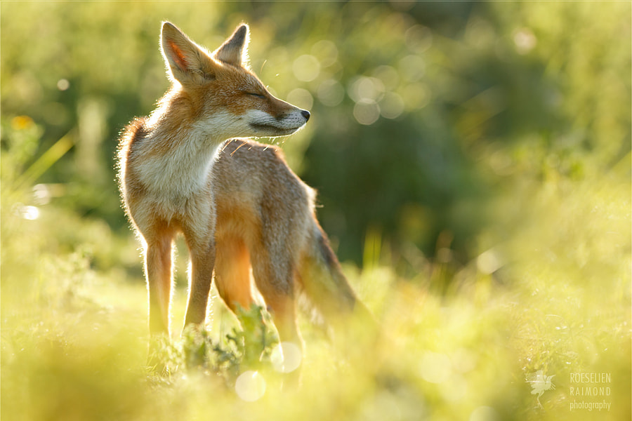 Zen Fox series: Happy Fox is Happy by Roeselien Raimond on 500px.com