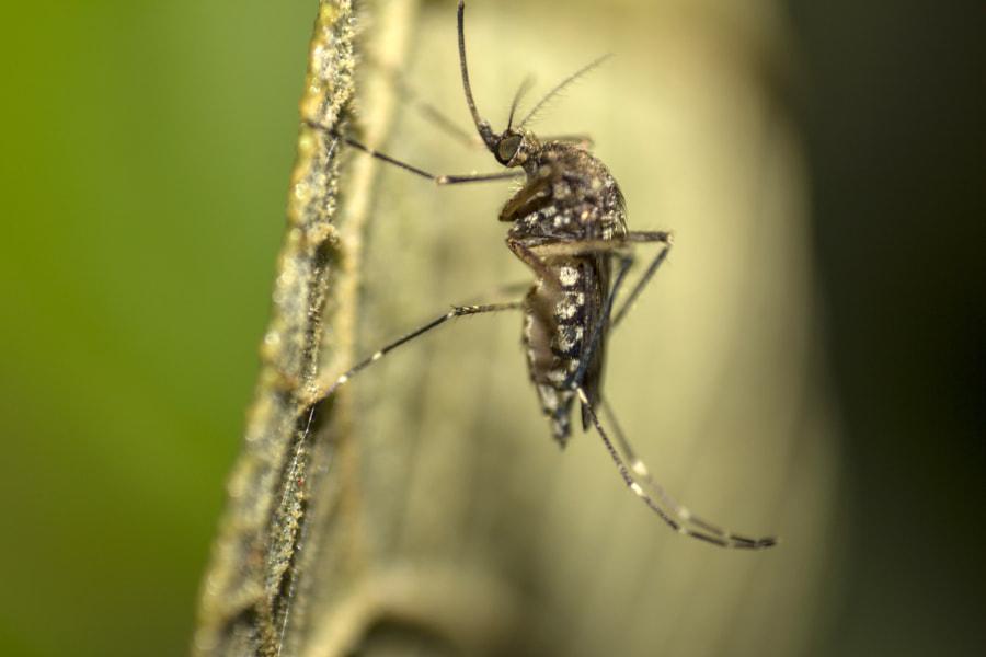 Dengue mosquito (Aedes Aegypti) by Avinash Krishnamurthy on 500px.com