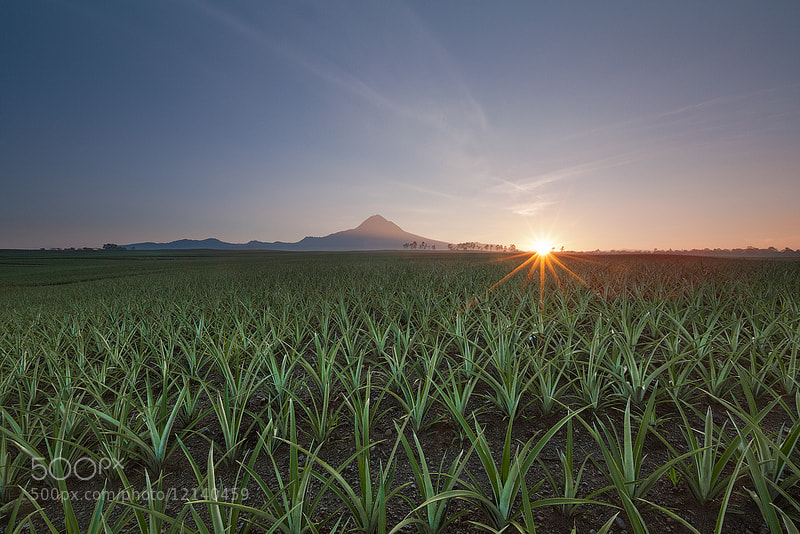Photograph PINEAPPLE SUNRISE by Mark Pedregosa on 500px