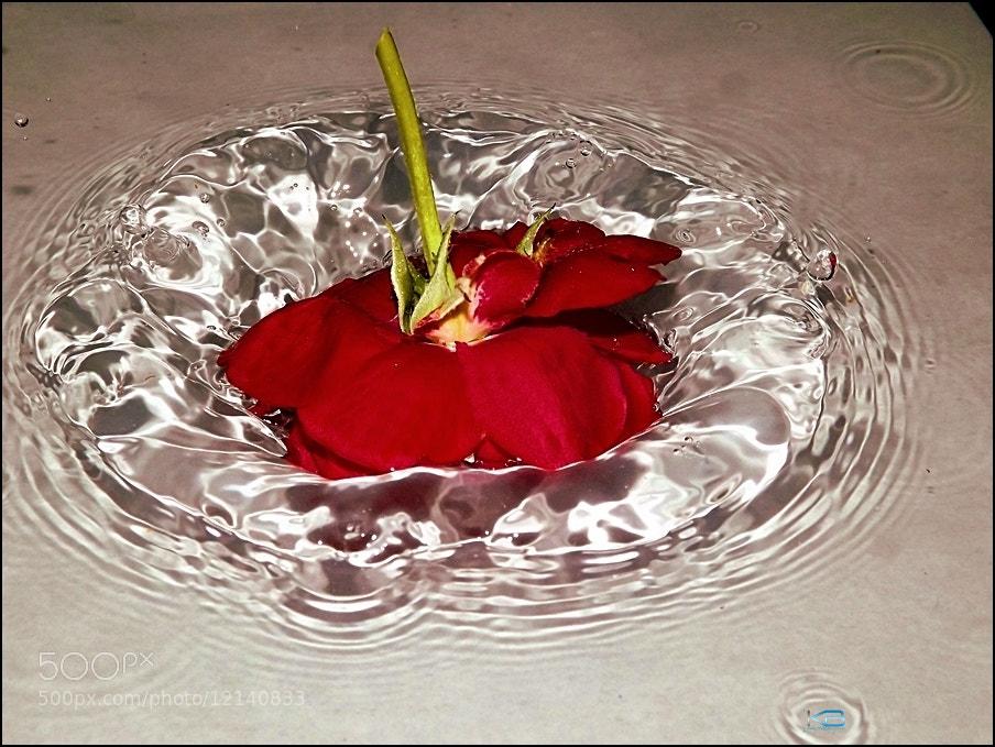 Photograph Rose in water by Benjamin Keran on 500px